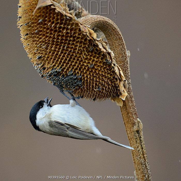 Willow Tit (Poecile montanus) feeding on Sunflower(Helianthus annus) seed head, Bulgaria  -  Loic Poidevin/ NPL
