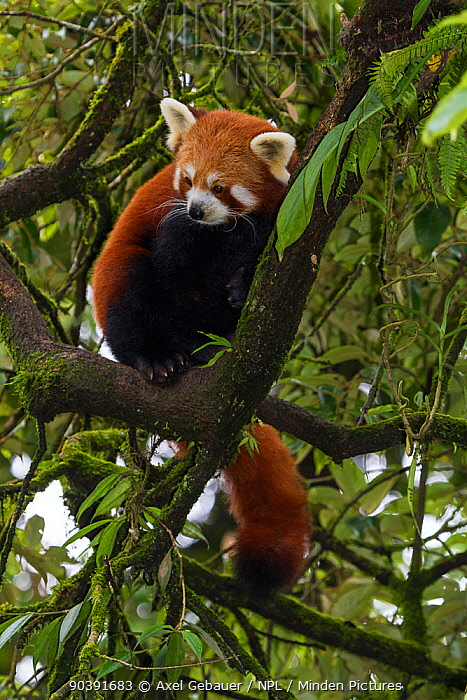 Red panda (Ailurus fulgens) in a tree, native to the Himalayas, captive, India  -  Dr. Axel Gebauer/ npl