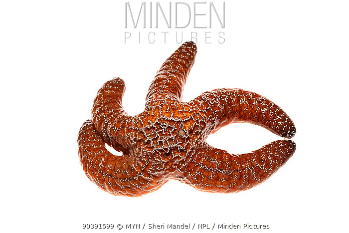 Ochre sea star (Pisaster ochraceus), Malibu, California, USA, January, meetyourneighboursnet project  -  MYN/ Sheri Mandel/ npl