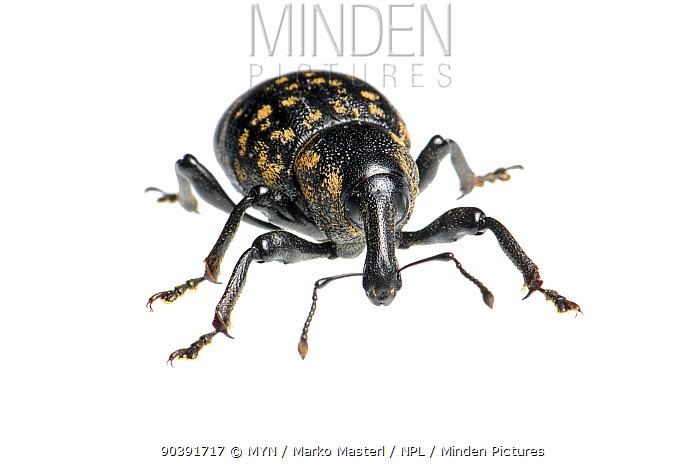 Large Pine Weevil (Hylobius abietis), Slovenia, Europe, July, meetyourneighboursnet project  -  MYN/ Marko Masterl/ npl