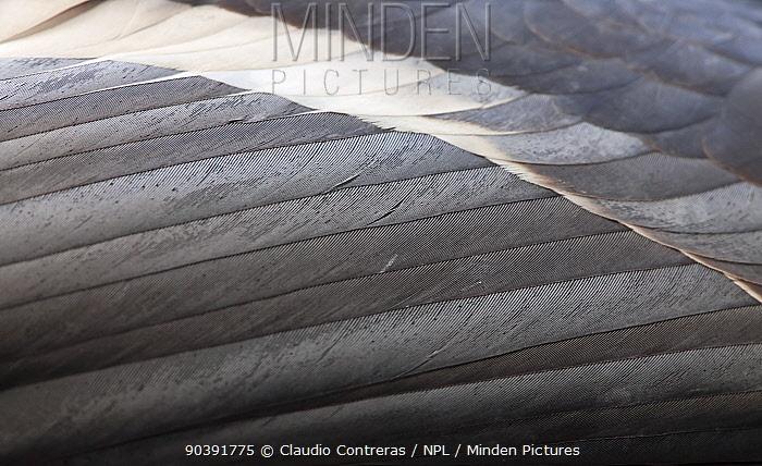 California condor (Gymnogyps californianus) feather detail, IUCN Critically Endangered, captive  -  Claudio Contreras/ npl