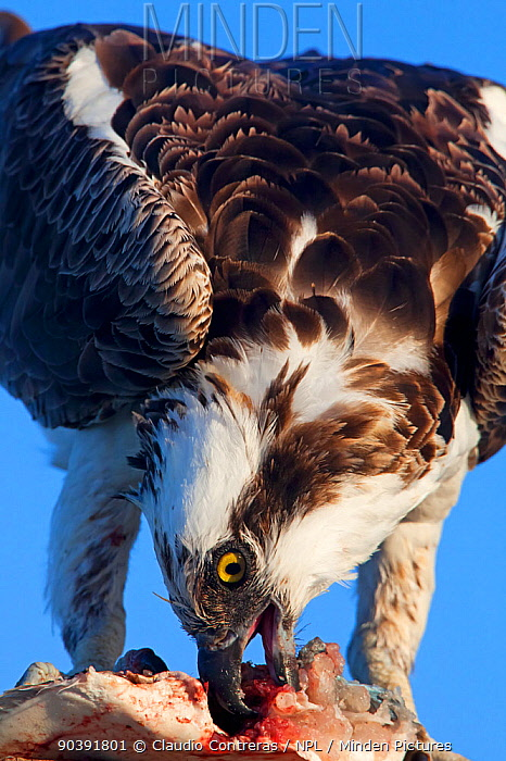 Osprey (Pandion haliaetus) feeding on fish, Cabo Pulmo National Park, Sea of Cortez (Gulf of California), Mexico, July  -  Claudio Contreras/ npl