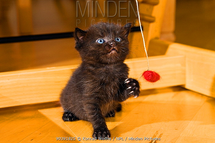 Black kitten playing with toy, Germany  -  Konrad Wothe/ NPL
