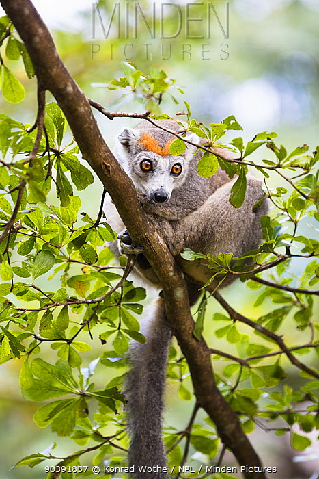Crowned lemur (Eulemur coronatus) female on branch, North Madagascar, Africa  -  Konrad Wothe/ NPL