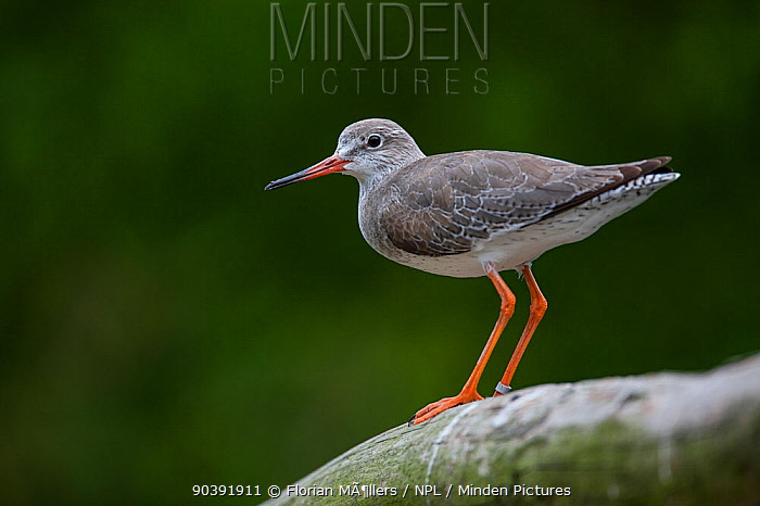 Common Redshank (Tringa totanus) captive, perched on log, Vogelpark Marlow, Germany, May  -  Florian Mollers/ npl
