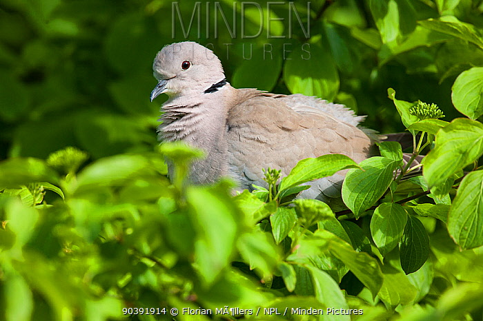Eurasian Collared dove (Streptopelia decaocto) perched in small bush, Vogelpark Marlow, Germany May  -  Florian Mollers/ npl