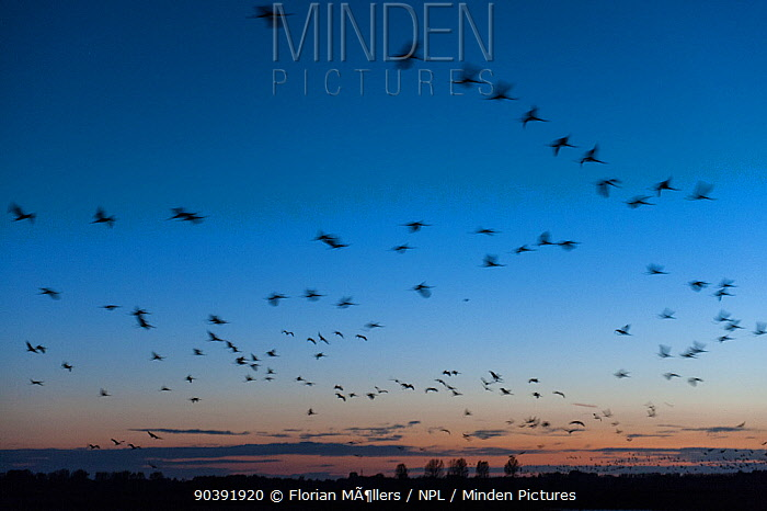 Common cranes (Grus grus) returning at dusk to at a night roost site managed by the NABU (Nature and Biodiversity Conservation Union) close to Linum just 40 km outside Berlin October, Rhinluch, Brandenburg, Germany  -  Florian Mollers/ npl