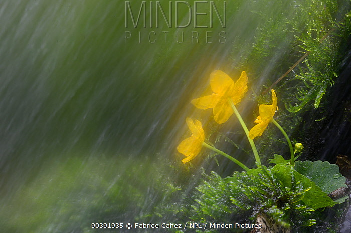 Small waterfall in spring with Kingcup (Caltha palustris) Vosges mountains, France, May  -  Fabrice Cahez/ npl