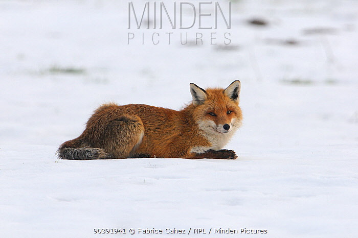 Red fox (Vulpes vulpes) resting in the snow, Vosges, France, February  -  Fabrice Cahez/ npl