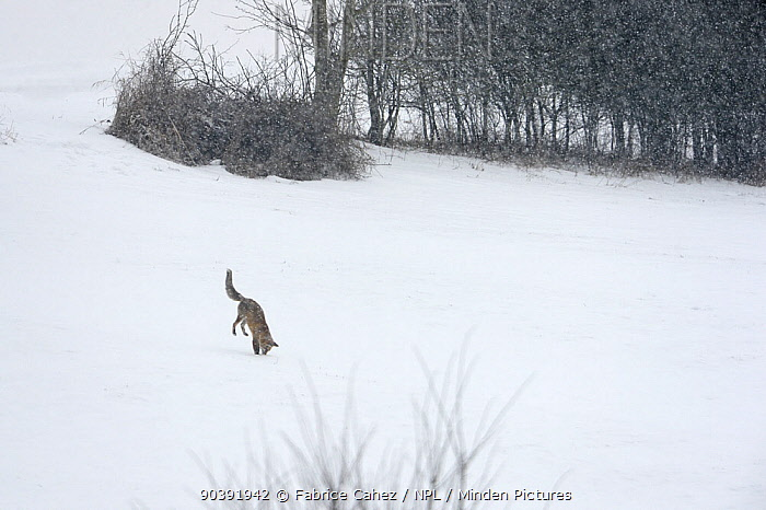 Red fox (Vulpes vulpes) jumping at prey in the snow, Vosges, France, February  -  Fabrice Cahez/ npl