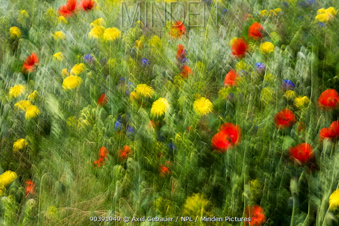 Flower meadow with Poppies (Papaver rhoeas) abstract, Upper Lusatia Heath and Pond Landscape, Upper Lusatia UNESCO Biosphere Reserve, Germany  -  Dr. Axel Gebauer/ npl
