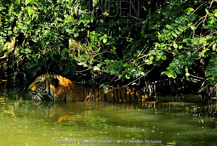 Malayan Tiger (Panthera tigris jacksoni) in river, Malaysia Captive in natural setting  -  Daniel Heuclin/ npl