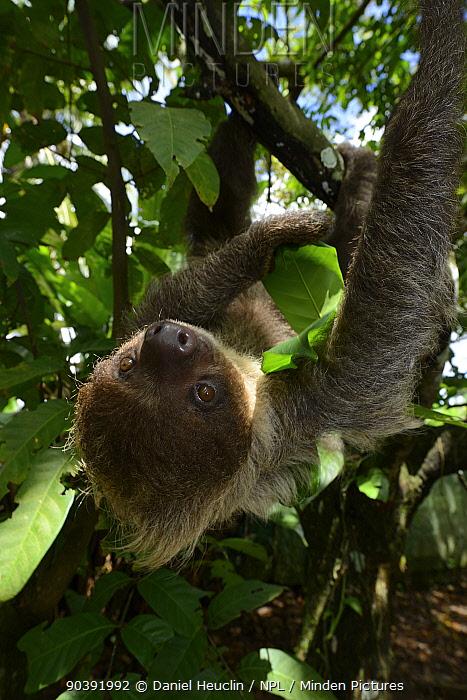 Unau, two-toed sloth (Choloepus didactylus) climbing in tree, French Guiana  -  Daniel Heuclin/ npl