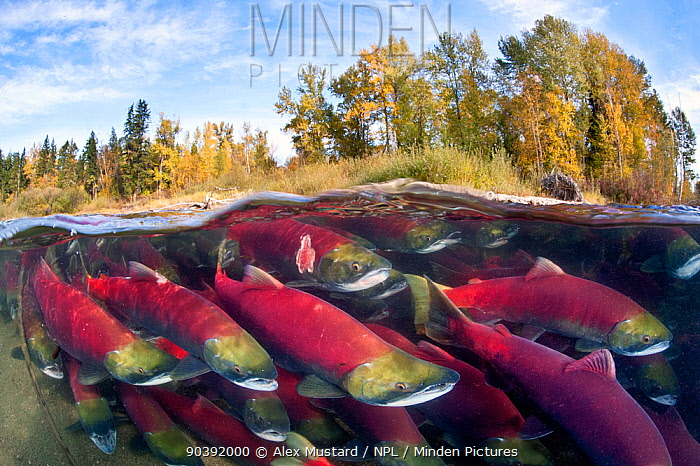 A split level photo of group of Sockeye salmon (Oncorhynchus nerka) fighting their way upstream as they migrate back to the river of their birth to spawn, trees showing autumnal colours Adams River, British Columbia, Canada, October Taken under licence, (Canadian Fisheries and Oceans 1838-00; British Columbian Parks 85000-40, RHB)  -  Alex Mustard/ npl