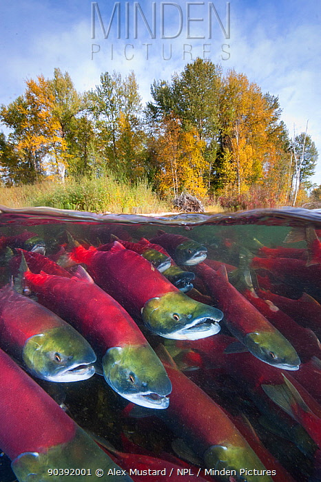 A split level photo of group of Sockeye salmon (Oncorhynchus nerka) fighting their way upstream as they migrate back to the river of their birth to spawn, trees showing autumnal colours Adams River, British Columbia, Canada, October  -  Alex Mustard/ npl