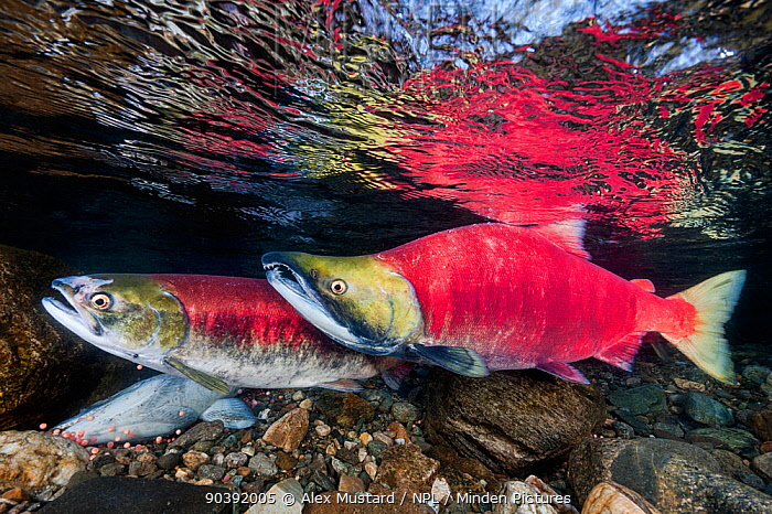 A female (in front) and male Sockeye salmon (Oncorhynchus nerka) over eggs in their spawning river Adams River, British Columbia, Canada, October  -  Alex Mustard/ npl