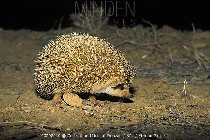 Long-eared hedgehog (Hemiechinus auritus) at night, Touran Protected Area, Iran  -  Dr. Gertrud Neumann-denzau/ npl