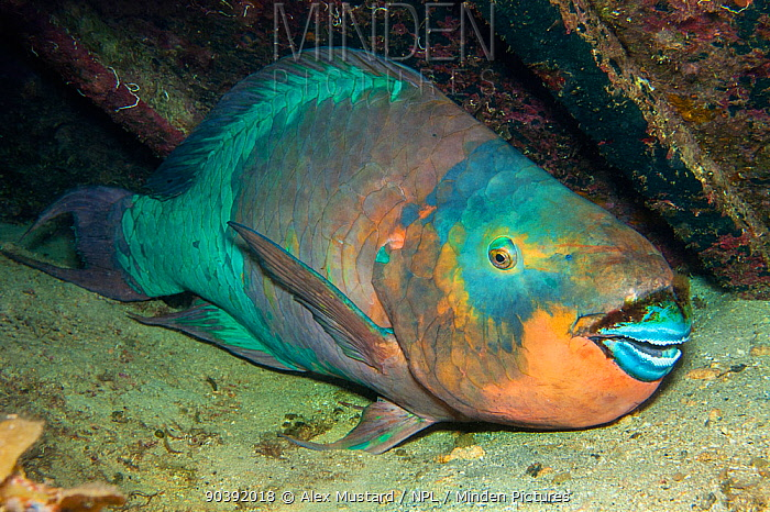 A large Rainbow Parrotfish (Scarus guacamaia) sleeps at night inside the wreck of the Oro Verde Seven Mile Beach, Grand Cayman, Cayman Islands, British West Indies  -  Alex Mustard/ npl