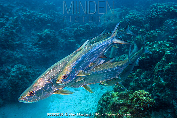 Group of smaller male Tarpon (Megalops atlanticus) rub along the flanks of a larger female during courtship as they swim over Coral reef George Town, Grand Cayman, Cayman Islands, British West Indies Caribbean Sea  -  Alex Mustard/ npl