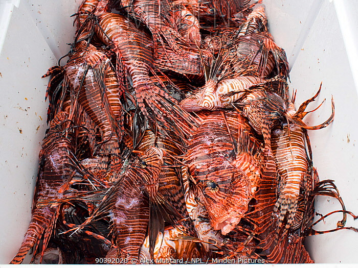 Culled lionfish (Pterois volitans) stored in cooler with ice so that they can be supplied to restaurants Lionfish are native to the Indo-Pacific, but introduced to the Caribbean Sea from aquariums, they are now widespread, abundant and a problematic invasive predator, significantly reducing native reef fish populations East End, Grand Cayman, Cayman Islands, British West Indies Caribbean Sea  -  Alex Mustard/ npl