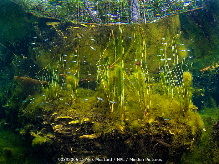 Fish (Poecilia) swimming through plants in a typical scene from a freshwater cenote or sinkhole Cancun, Yucatan, Mexico  -  Alex Mustard/ npl