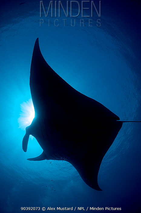 Silhouette of Reef manta (Manta alfredi) Misool, Raja Ampat, West Papua, Indonesia Ceram Sea, Tropical West Pacific Ocean  -  Alex Mustard/ npl