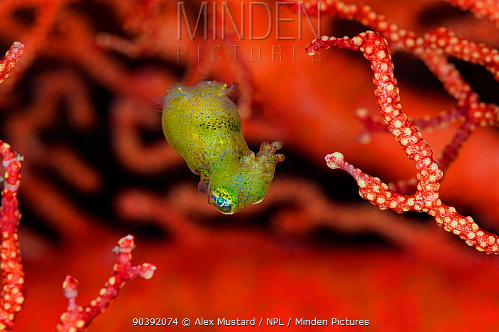 Tiny, nocturnal, undescribed species of pygmy squid (Idiosepius) swimming between the branches of a seafan Misool, Raja Ampat, West Papua, Indonesia Ceram Sea, Tropical West Pacific Ocean  -  Alex Mustard/ npl