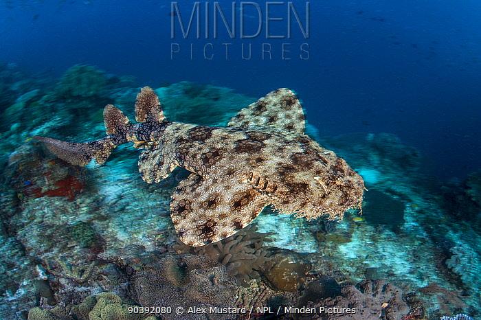 Long exposure of a Tassled wobbegong shark (Eucrossorhinus dasypogon) swimming across Coral reef Dampier Strait, Raja Ampat, West Papua, Indonesia Tropical West Pacific Ocean  -  Alex Mustard/ npl