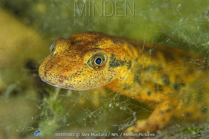 Portrait of a Sardinian brook salamander (Euproctus platycephalus) in a shallow stream San Vito, Sardinia, Italy Endemic to Sardinia, endangered species  -  Alex Mustard/ npl