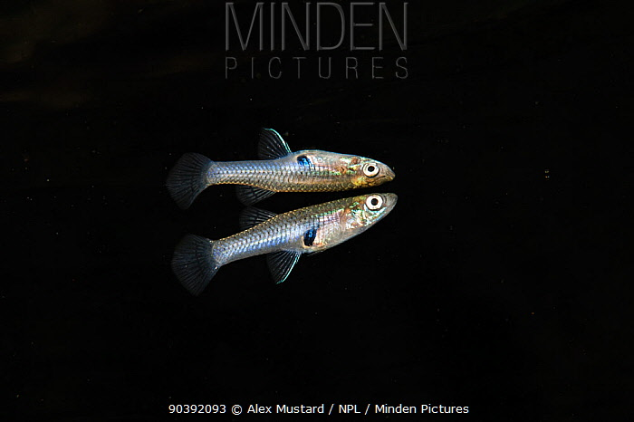 Portrait of an Eastern mosquitofish (Gambusia holbrooki) reflected in the surface of Rainbow River, Florida, United States of America  -  Alex Mustard/ npl