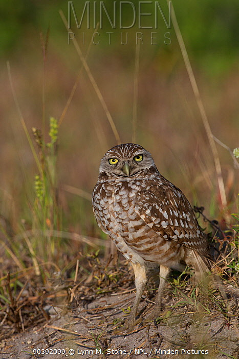 Florida Burrowing Owl (Athene cunicularia floridana) near burrow, Cape Coral, Florida, USA  -  Lynn M. Stone/ npl