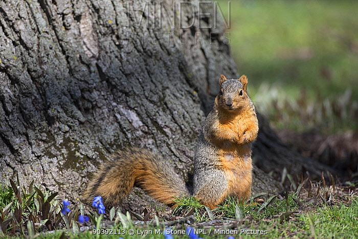 Eastern Gray Squirrel (Sciurus carolinensis) alert by tree, in spring, Geneva, Illinois, USA  -  Lynn M. Stone/ npl