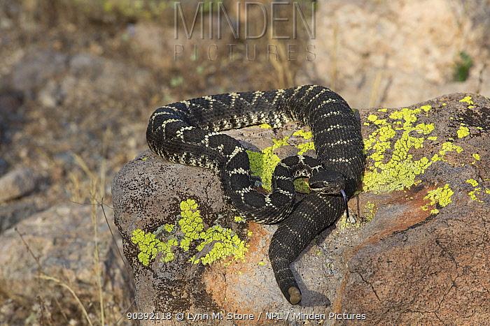 Arizona Black Rattlesnake (Crotalus cerberus) in Sonoran Desert, Mesa, Arizona, USA  -  Lynn M. Stone/ npl