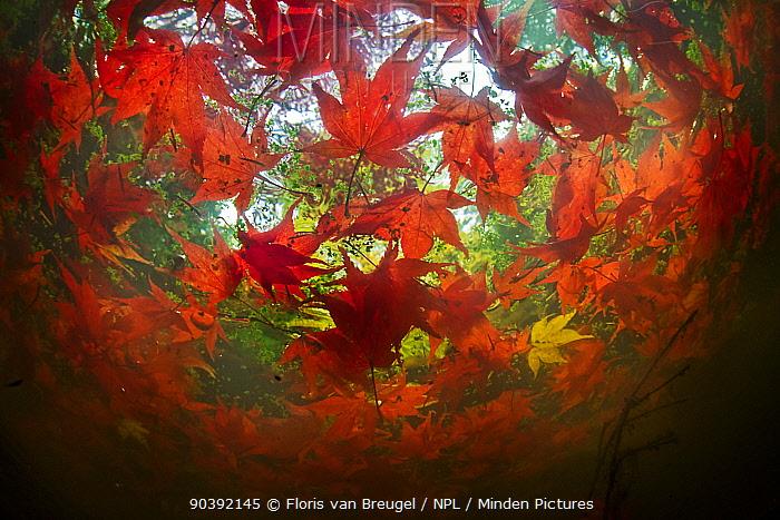 Japanese maple (Acer palmatum) leaves floating in a small pond in late autumn in Seattle's Washington Park Arboretum Washington USA  -  Floris Van Breugel/ npl