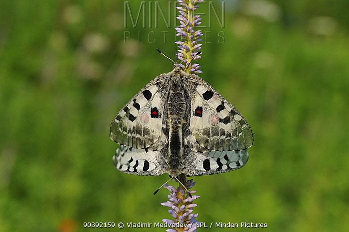 Parnassian Nomion (Parnassius nomion) butterflies mating, Central Sikhote-Alin, Primorskiy krai, The Far East, Russia, July 2011  -  Vladimir Medvedev/ npl