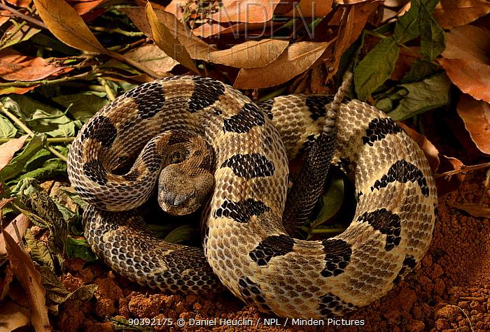 Timber rattlesnake (Crotalus horridus horridus) from Eastern USA  -  Daniel Heuclin/ npl