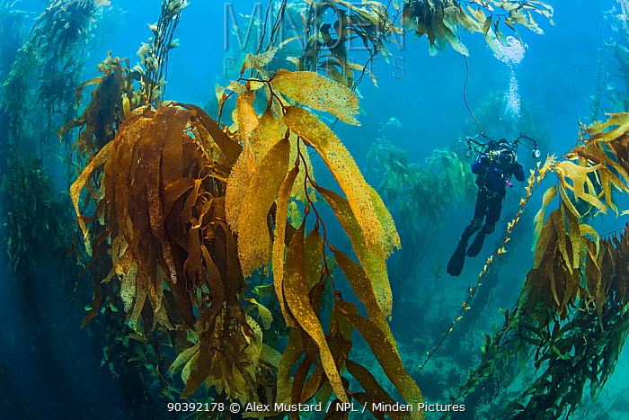 A diver photographs in a giant kelp forest (Macrocystis pyrifera) Fortescue Bay, Tasmania, Australia Tasman Sea This is the same species of giant kelp which is widespread on the Pacific coast of North America In Australia these forests are only found in Tasmania  -  Alex Mustard/ npl