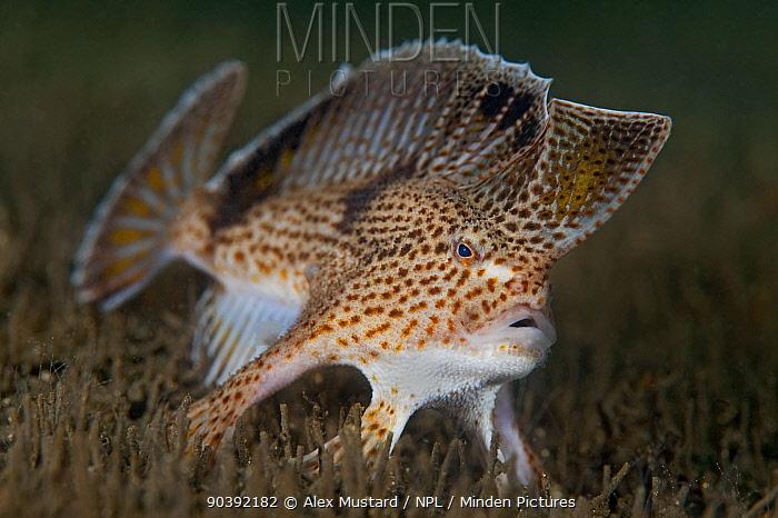Spotted handfish (Brachionichthys hirsutus) portrait, Derwent River estuary, Hobart, Tasmania, Australia  -  Alex Mustard/ npl