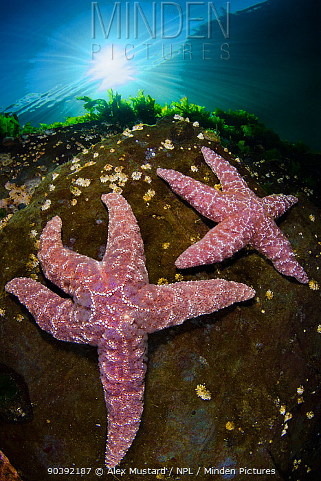 A pair of the pink variety of Ochre sea star (Pisaster ochraceus) in shallow water beneath the sun Browning Pass, Vancouver Island, British Columbia, Canada North East Pacific Ocean  -  Alex Mustard/ npl