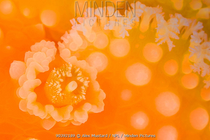 Detail of the sensory rhinophore of an Orange peel nudibranch (Tochuina tetraquetra) Browning Pass, Vancouver Island, British Columbia, Canada North East Pacific Ocean  -  Alex Mustard/ npl