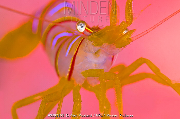 A portrait of a small Candy stripe shrimp (Lebbeus grandimanus) in front of its host pink anemone (out of focus because of the magnification) Browning Wall, Browning Pass, Port Hardy, Vancouver Island, British Columbia, Canada North East Pacific Ocean  -  Alex Mustard/ npl