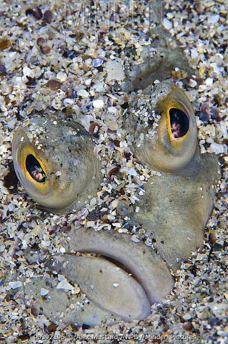 Face portrait of european flounder (Platichthys flesus) in coarse sand Gardur, south west Iceland North Atlantic Ocean  -  Alex Mustard/ npl