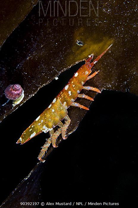 Spotted isopod (Idotea) climbs a kelp frond Gardur, south west Iceland North Atlantic Ocean  -  Alex Mustard/ npl