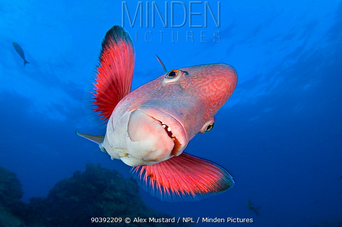 A portrait of a Mexican hogfish (Bodianus diplotaenia) Socorro Island, Revillagigedos, Mexico East Pacific Ocean  -  Alex Mustard/ npl