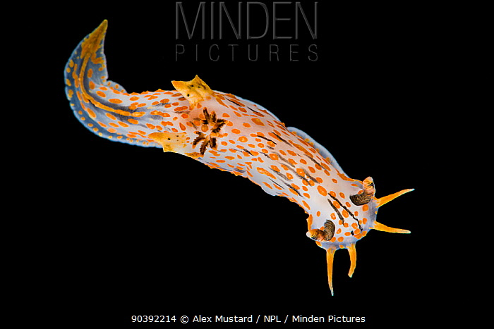 A nudibranch (Polycera quadrilineata) photographed in the field aquarium, Gulen, Norway North East Atlantic  -  Alex Mustard/ npl
