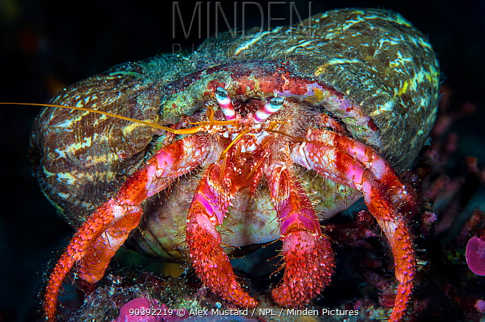 Hermit crab (Dardanus calidus) with hermit crab anemone's (Calliactis parasitica) attached to its shell This anemone lives exclusively on the shells of hermit crabs Tavolara Marine Protected Area, Olbia, Sardinia, Italy Mediterranean Sea  -  Alex Mustard/ npl