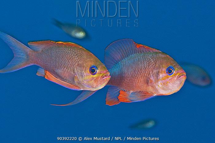 A pair of Mediterranean anthias (Anthias anthias) displaying Secca Del Papa, Tavolara Marine Reserve, Sardinia, Italy Mediterranean Sea  -  Alex Mustard/ npl