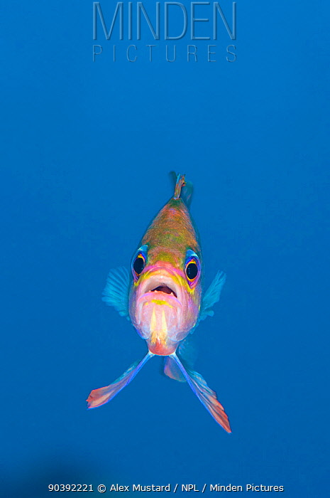 A portrait of a Mediterranean anthias (Anthias anthias) against open water Secca Del Papa, Tavolara Marine Protected Area, Sardinia, Italy Mediterranean Sea  -  Alex Mustard/ npl