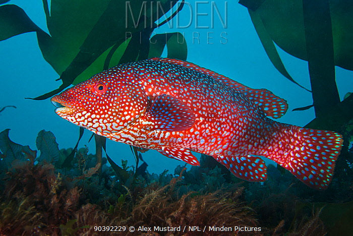 A portrait of a male Ballan wrasse (Labrus bergylta), showing his bright mating colours Plymouth, Devon, England, Great Britain Wreck of the Glen Strathallan, Plymouth Sound, English Channel  -  Alex Mustard/ npl