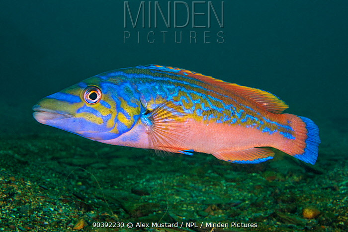 A portrait of a male Cuckoo wrasse (Labrus mixtus), showing his bright mating colours Plymouth, Devon, England, Great Britain Wreck of the Glen Strathallan, Plymouth Sound, English Channel  -  Alex Mustard/ npl
